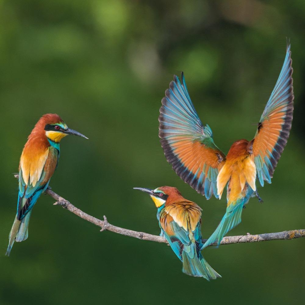 Ptaki Europy - Żołna - InPlanner